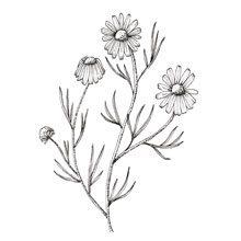 Muma Gin Botaniche: camomilla