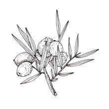Muma Gin Botaniche: Ginepro