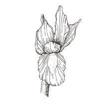 Muma Gin Botaniche: Iris